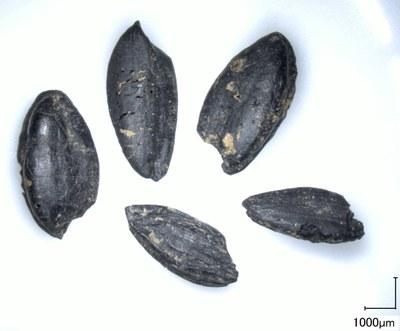 Verkohlte Körner von Einkorn aus dem Fundort Vráble in der Slowakei Foto: D. Filipović