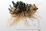 Recent, charred tubers of tuber oat grass